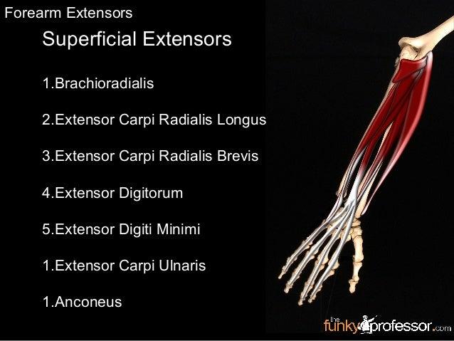 Superficial Extensors 1.Brachioradialis 2.Extensor Carpi Radialis Longus 3.Extensor Carpi Radialis Brevis 4.Extensor Digit...