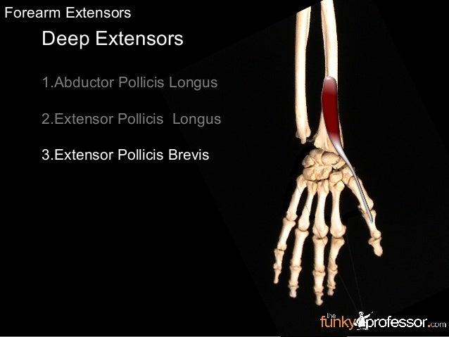 Deep Extensors 1.Abductor Pollicis Longus 2.Extensor Pollicis Longus 3.Extensor Pollicis Brevis Forearm Extensors