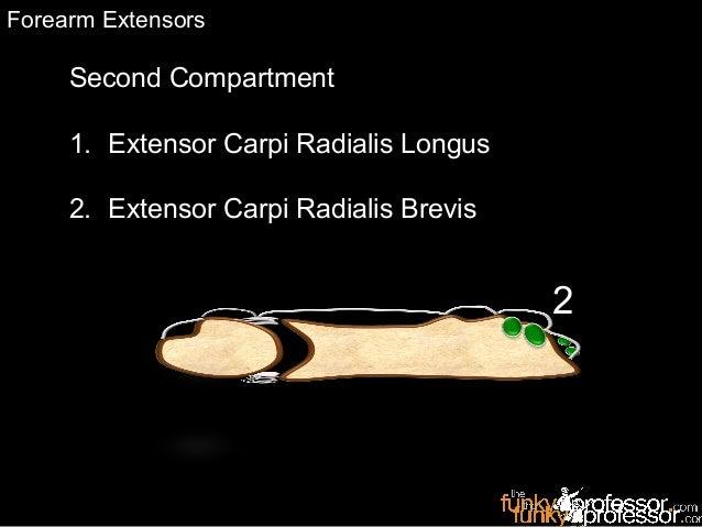 Second Compartment 1. Extensor Carpi Radialis Longus 2. Extensor Carpi Radialis Brevis RadiusUlna 2 Forearm Extensors