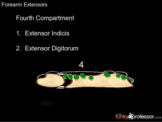 Fourth Compartment 1. Extensor Indicis 2. Extensor Digitorum RadiusUlna 4 Forearm Extensors