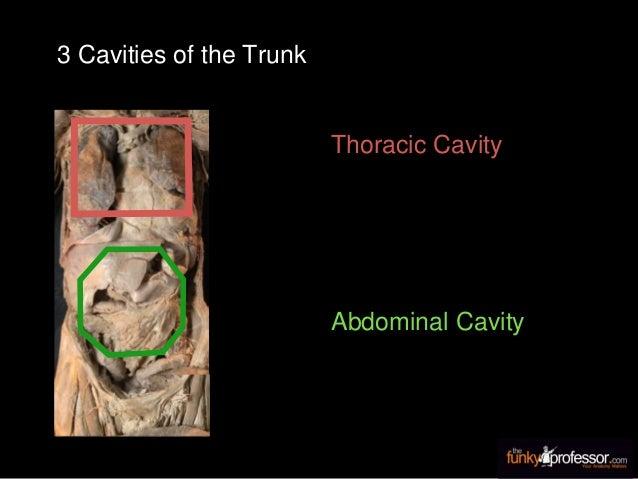 Thoracic Cavity Abdominal Cavity 3 Cavities of the Trunk
