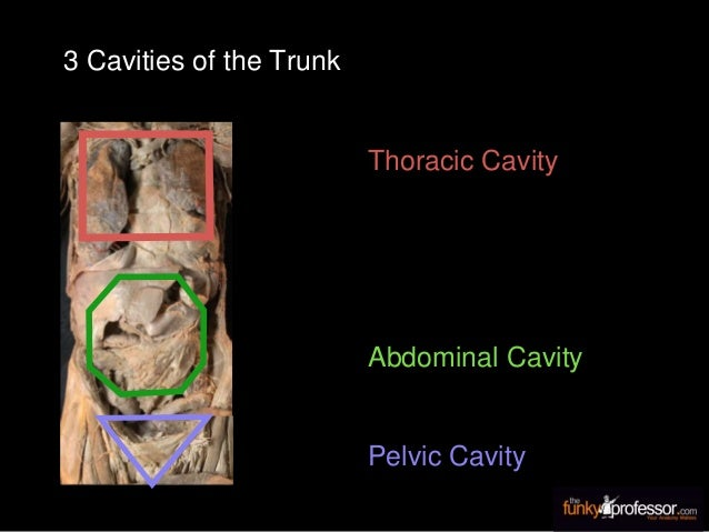 Thoracic Cavity Abdominal Cavity Pelvic Cavity 3 Cavities of the Trunk