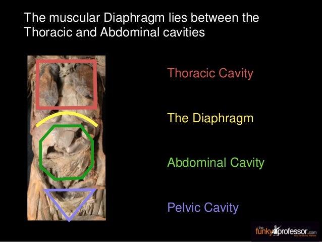 Thoracic Cavity Abdominal Cavity Pelvic Cavity The muscular Diaphragm lies between the Thoracic and Abdominal cavities The...