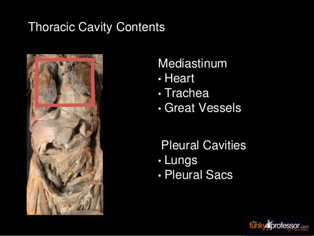 Thoracic Cavity Contents Mediastinum • Heart • Trachea • Great Vessels Pleural Cavities • Lungs • Pleural Sacs