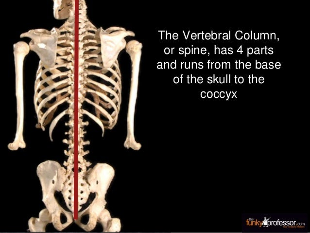 The Vertebral Column, or spine, has 4 parts and runs from the base of the skull to the coccyx