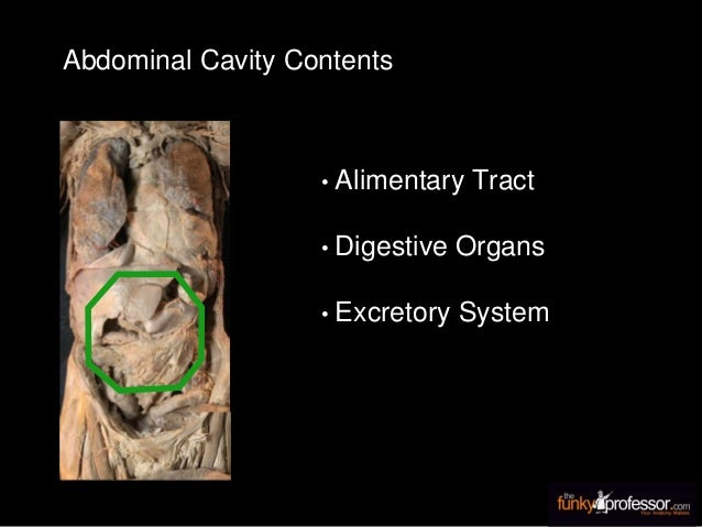 Abdominal Cavity Contents • Alimentary Tract • Digestive Organs • Excretory System