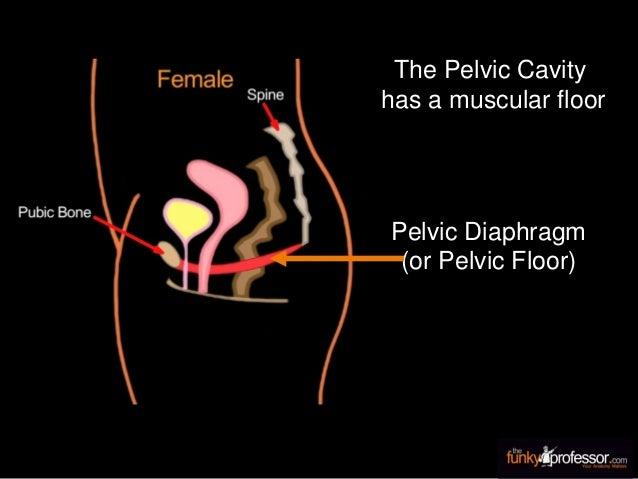 The Pelvic Cavity has a muscular floor Pelvic Diaphragm (or Pelvic Floor)