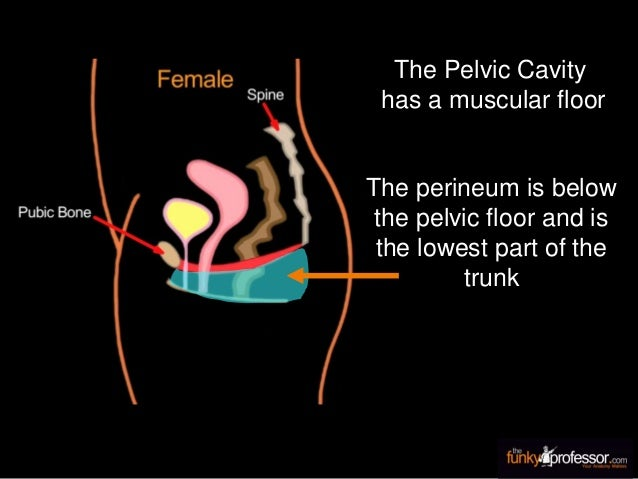 The Pelvic Cavity has a muscular floor The perineum is below the pelvic floor and is the lowest part of the trunk