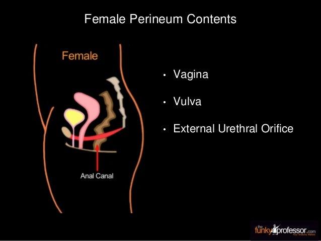 Female Perineum Contents • Vagina • Vulva • External Urethral Orifice