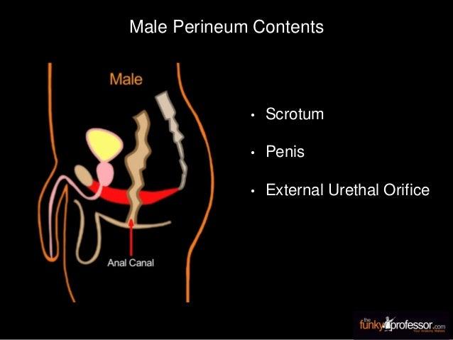Male Perineum Contents • Scrotum • Penis • External Urethal Orifice