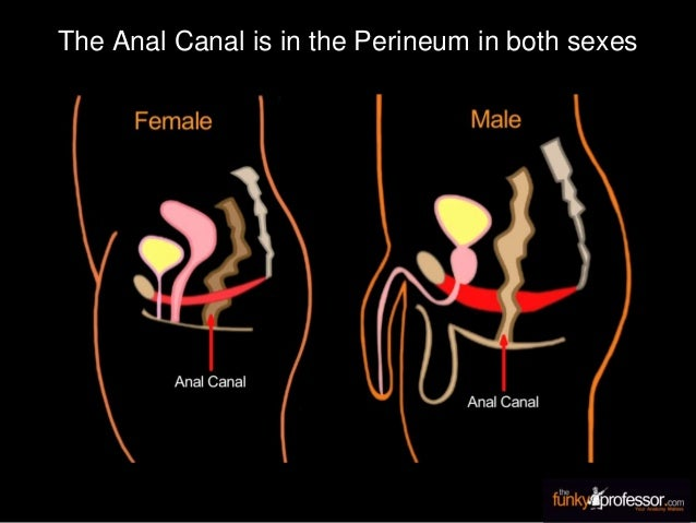 The Anal Canal is in the Perineum in both sexes
