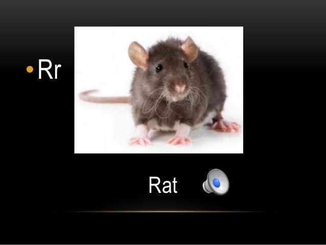•Rr      Rat