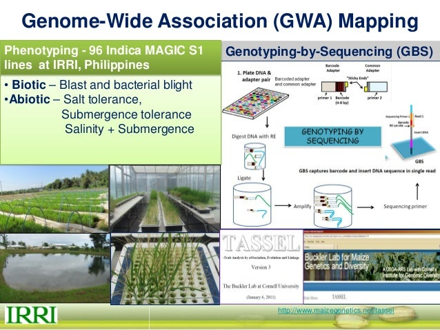 GWAS of MAGIC Plus S4 mapping bacterial blight resistance genes Heins Zaw M.S. Thesis, 2013 Resistance to bacterial blight...
