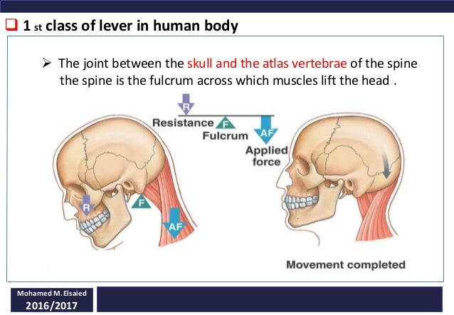 Levers in human body