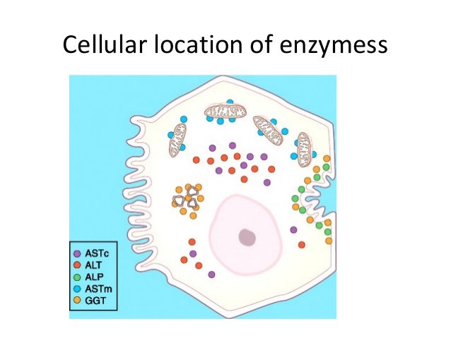 Cellular location of enzymess