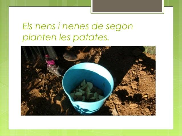 Els nens i nenes de segon planten les patates.
