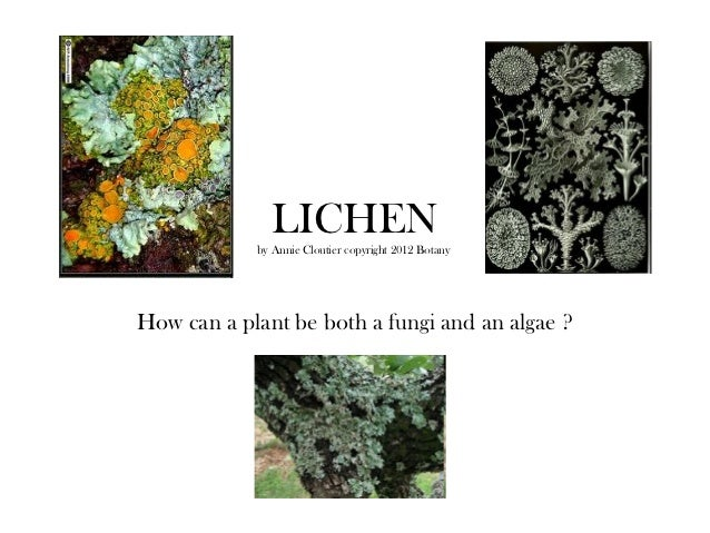 LICHEN            by Annie Cloutier copyright 2012 BotanyHow can a plant be both a fungi and an algae ?