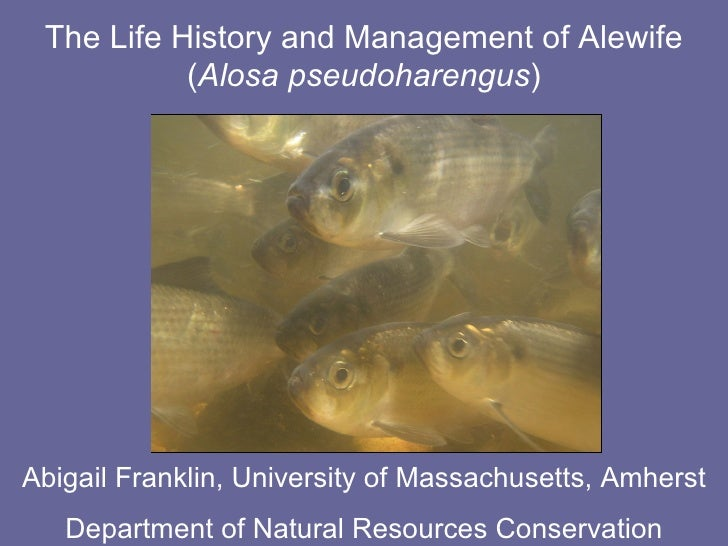 The Life History and Management of Alewife ( Alosa pseudoharengus ) Abigail Franklin, University of Massachusetts, Amherst...