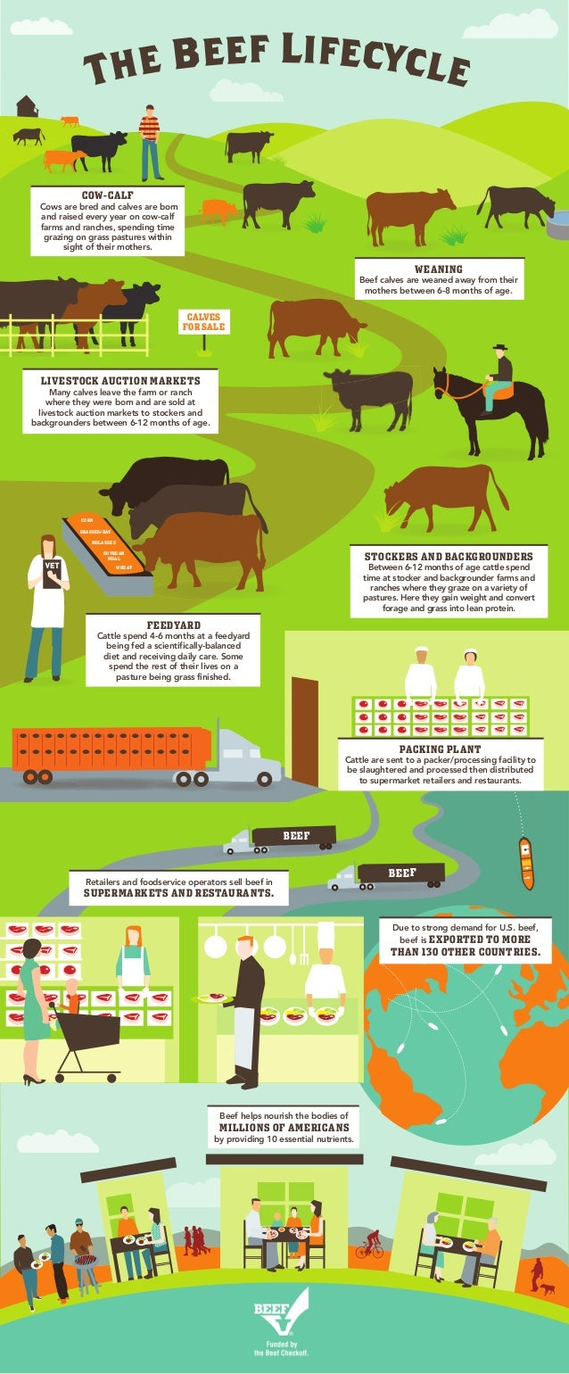The Beef Lifecycle FEEDYARD Cattle spend 4-6 months at a feedyard being fed a scientifically-balanced diet and receiving d...