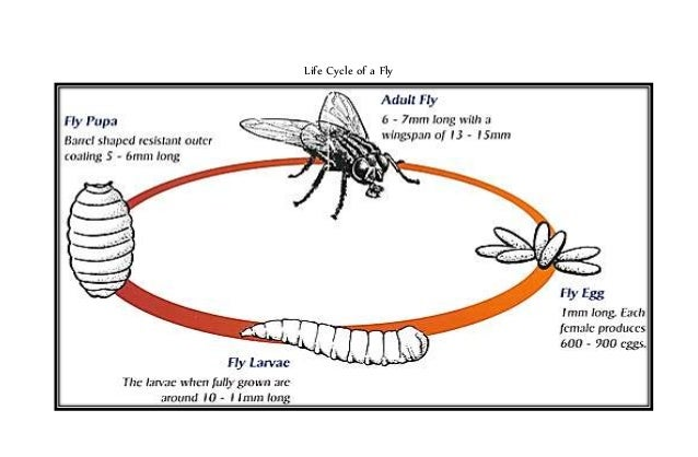 Life cycle of a fly w/ illustration - photo#12