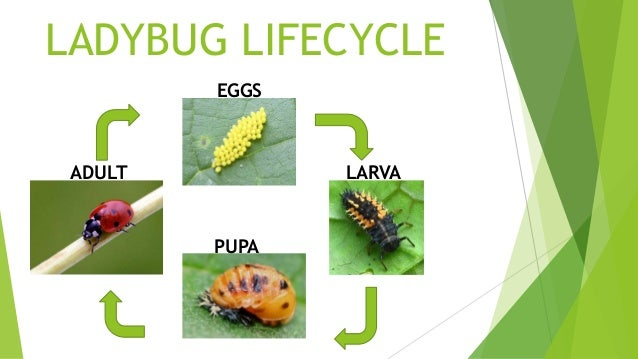 life cycle of a ladybug diyara kumarage