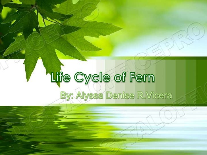 Life Cycle of Fern<br />By: Alyssa Denise R.Vicera<br />