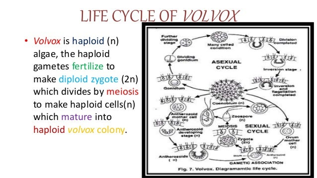 Life Cycle Of Volvox