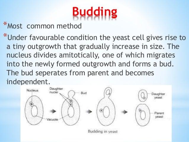 Yeast budding cycle