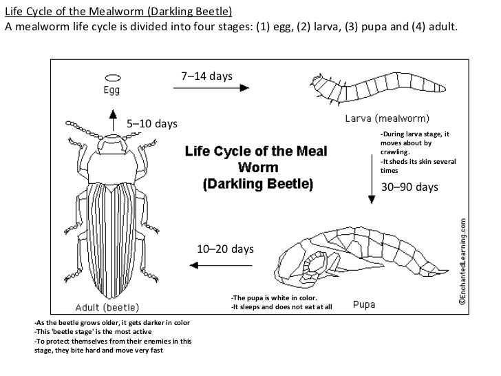 lifecycle of mealworms - Khafre