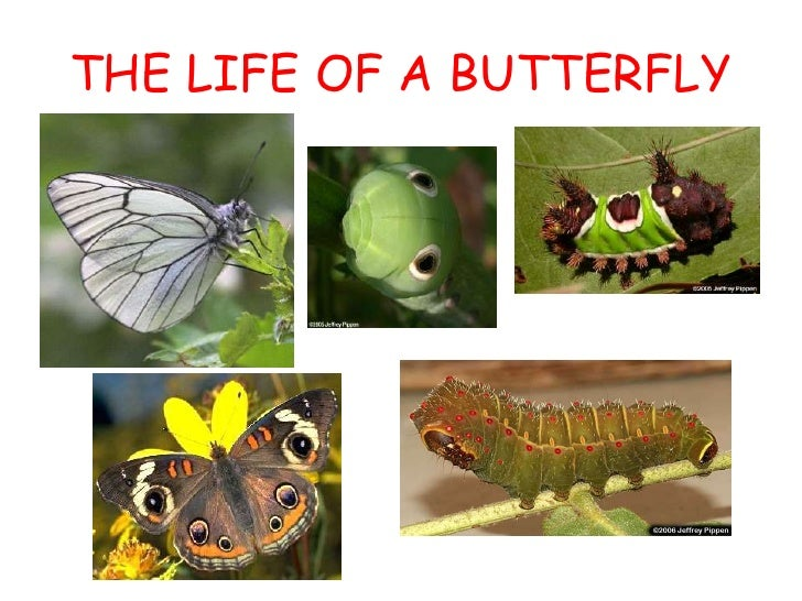 THE LIFE OF A BUTTERFLY<br />