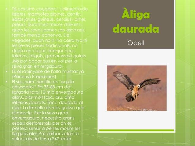 •   Té costums caçadors i salimenta de    llebres, marmotes alpines, conills,    isards joves, guineus, perdius i altres  ...
