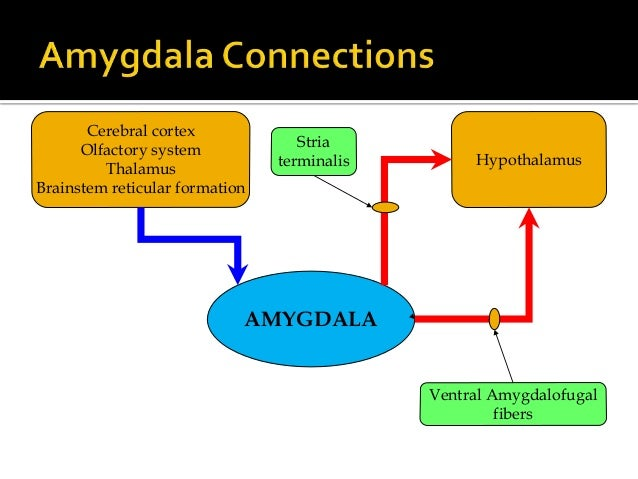 the role of the amygdala gaba The role of gaba in the brain is to counteract certain substances and decrease brain activity this keeps the brain from causing.