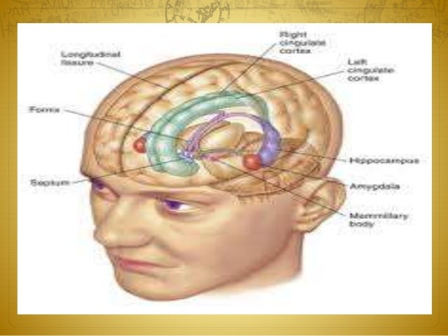 Term papers limbic system