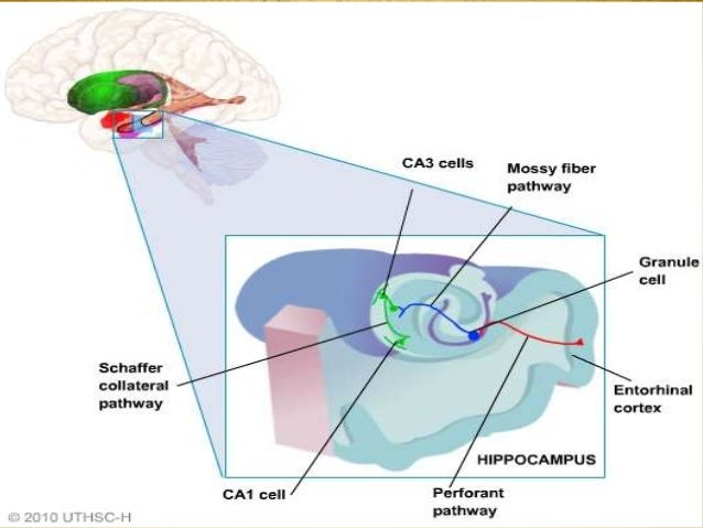 the impact on the human brain during cross modal perceptions How our senses interact the concept of cross-modality the different cerebral areas in our brain show cross-modal perception.