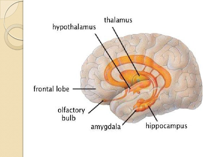 System And Cortex Of The Brain