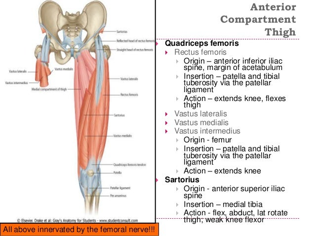 Image Gallery quadriceps attachments