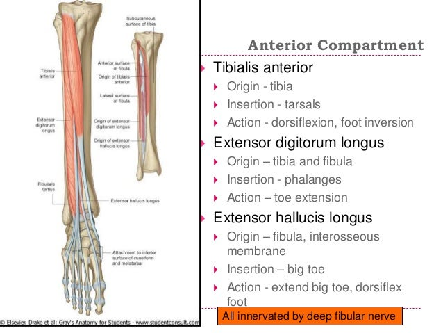 tibialis anterior paresthesis Dermatomes and myotomes - an overview the muscle predominantly innervated at this root nerve level is the tibialis anterior  since numbness and tingling.