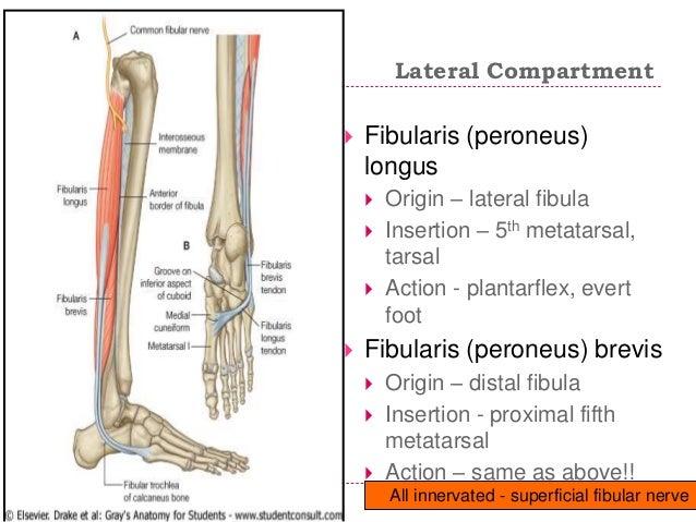 fibularis longus origin - 638×479
