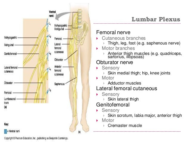 femoral nerve location and function – applecool, Muscles