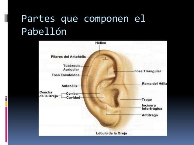 Limites y anatomía del oído externo