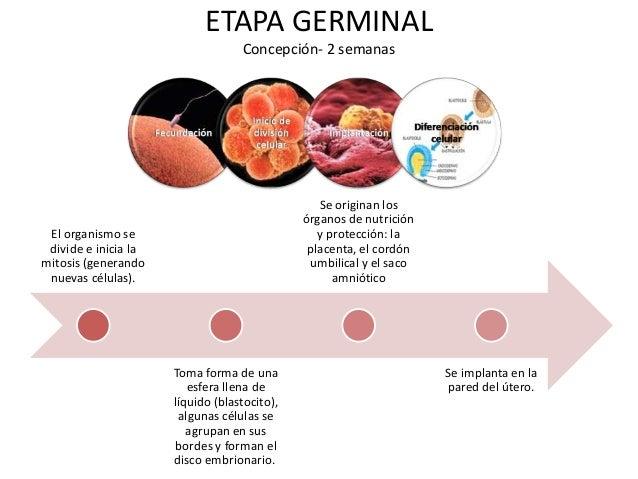 ETAPA GERMINAL                                   Concepción- 2 semanas                                                 Se ...