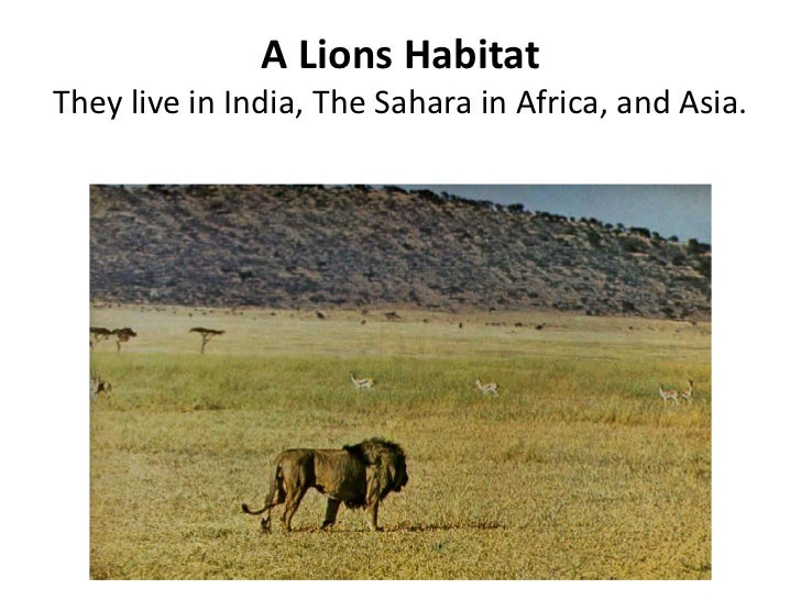 A Lions Habitat They live in India, The Sahara in Africa, and Asia.<br />