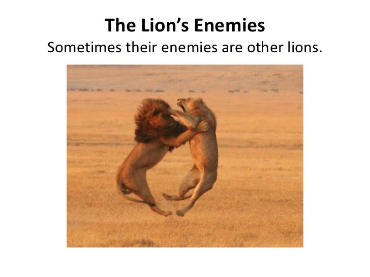 The Lion's EnemiesSometimes their enemies are other lions.   <br />
