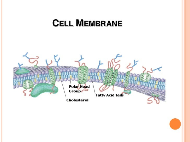 Cell Membrane<br />