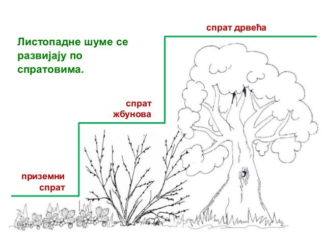 Listopadne šume - biljke Slide 2