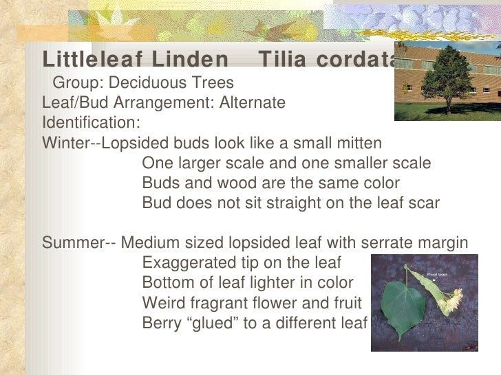 Littleleaf Linden   Tilia cordata  Group: Deciduous Trees Leaf/Bud Arrangement: Alternate  Identification: Winter--Lopsid...