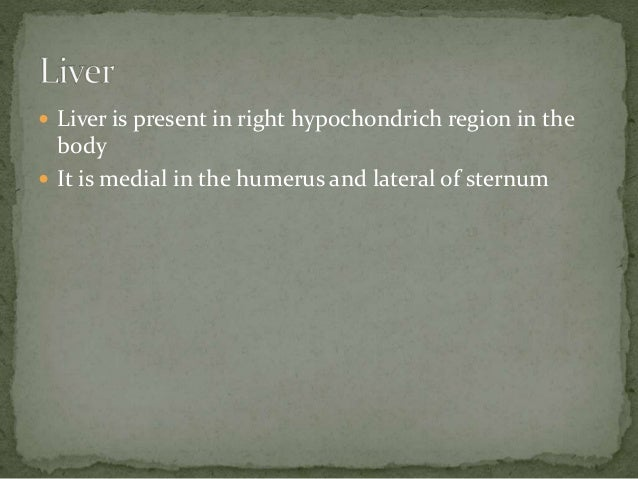  Liver is present in right hypochondrich region in the body  It is medial in the humerus and lateral of sternum