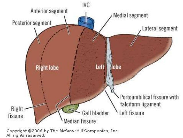 Liver Fissures Diagram Block And Schematic Diagrams