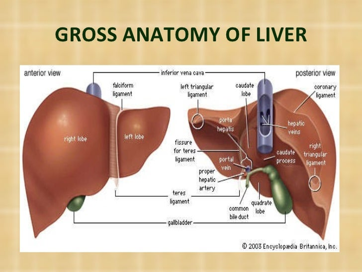 Liver Anatomy Physiology And Imporatance To Anesthesia
