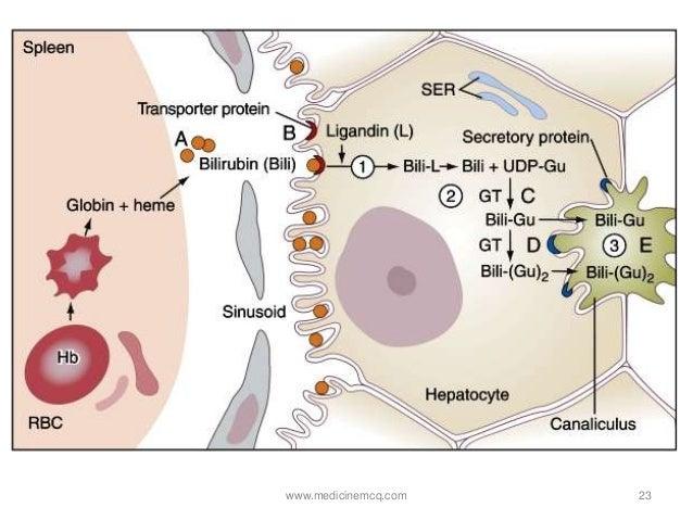 Liver Bilirubin Metabolism Jaundice